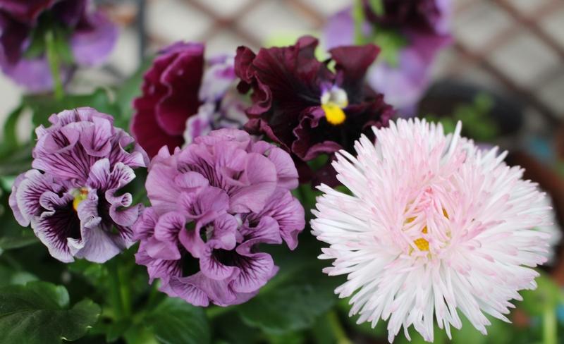Fleurs de mars (et début avril) cherrywoodgirl