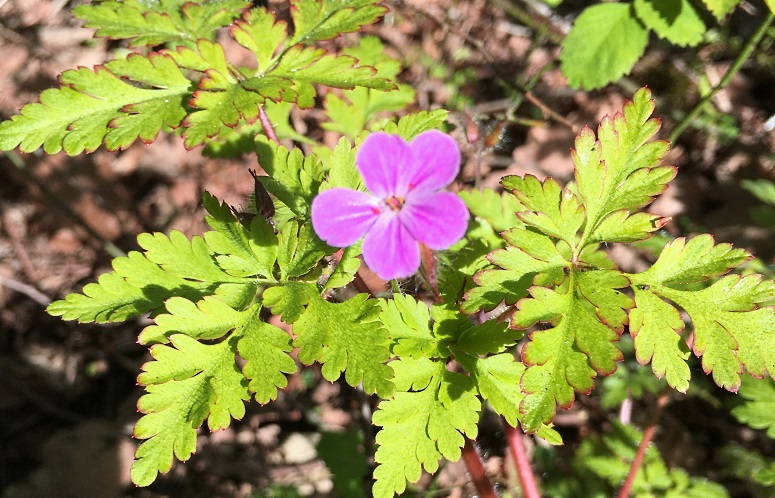 geranium sauvage