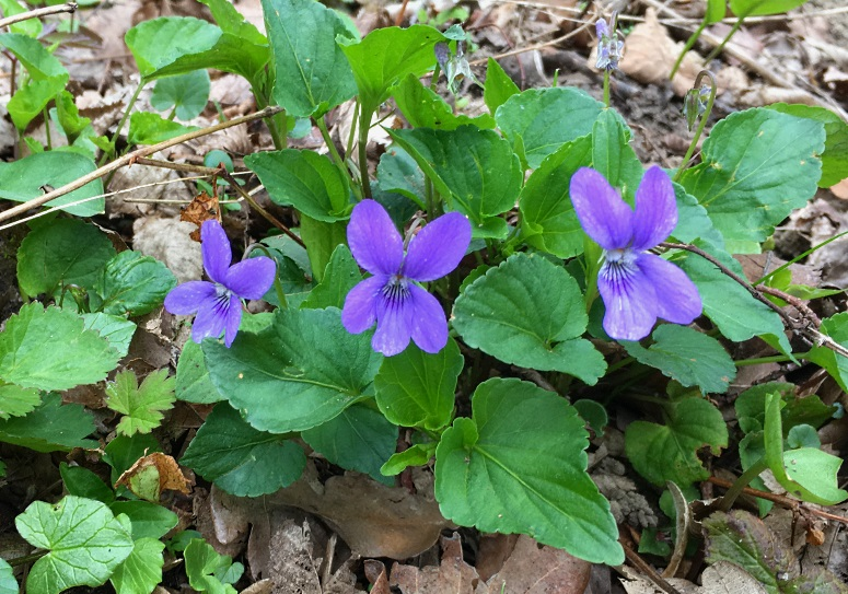 trio de violettes