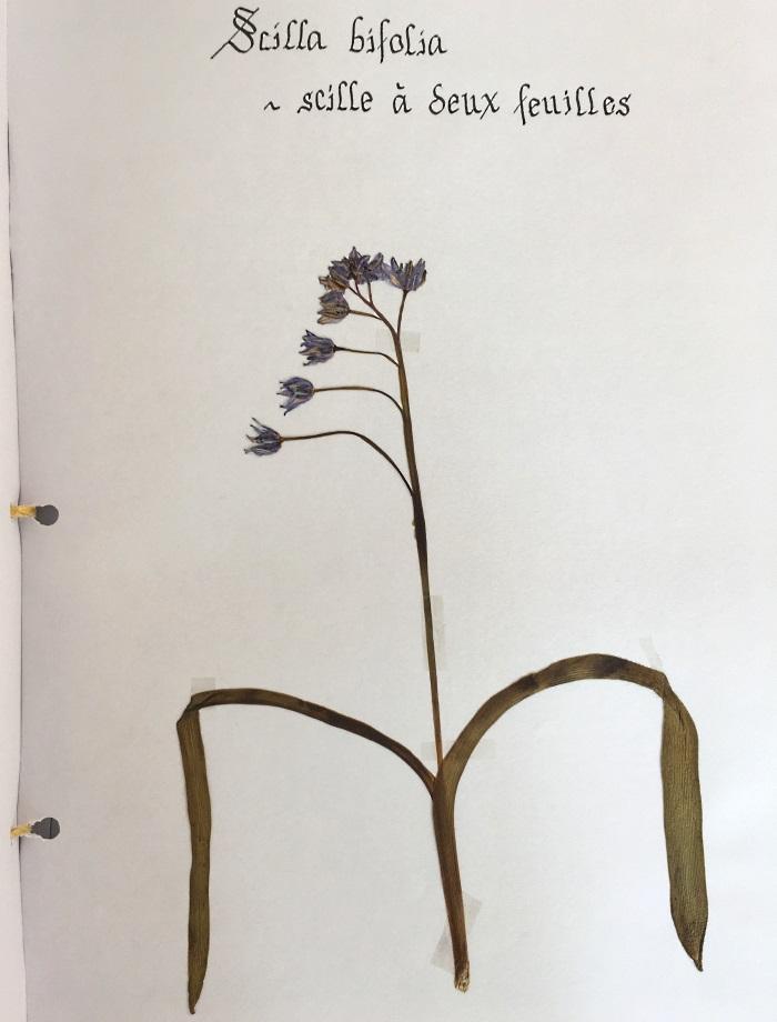 herbier scille