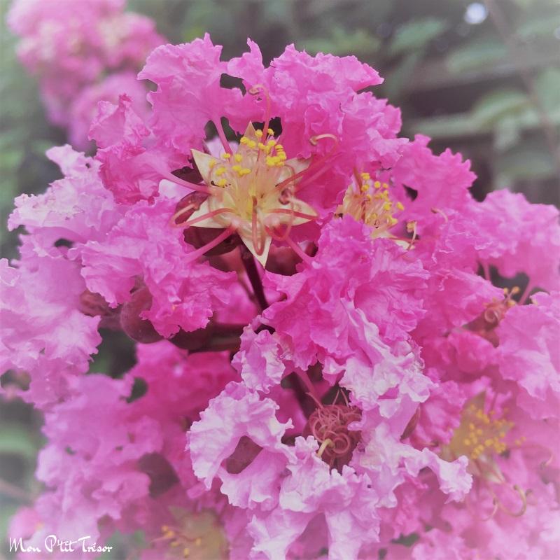 fleur de lila des indes