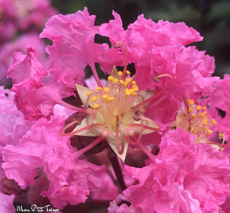 magnifique lilas des indes